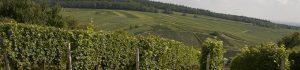 Reben des Weingut Bur